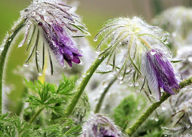 Pasque Flower, Drop Of Water, Raindrop, Purple