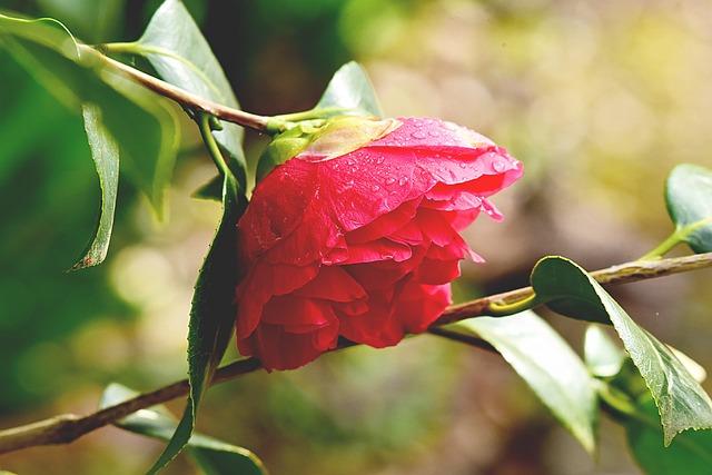 Camelia, Flower, Shrub, Petal, Droplets, Blossom