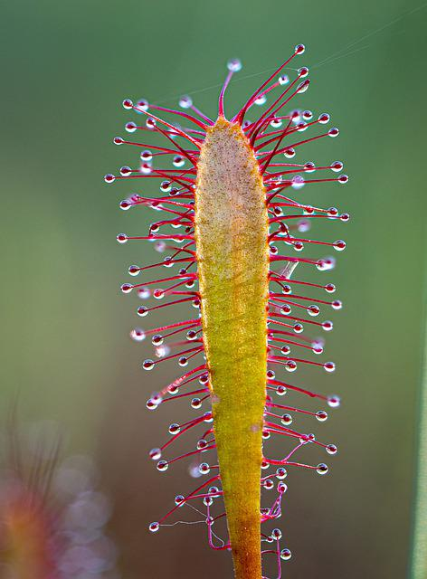 Sundew, Macro, Carnivorous, Sticky, Droplets, Plant