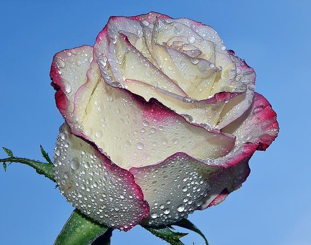 Flowers, Garden, Nature, Rose, Drops, Blue Rose