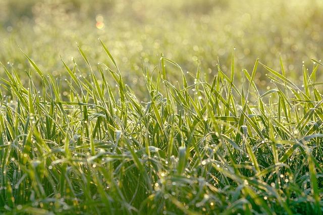 Juicy Grass, Rosa, Meadow, Drops, Wet Grass, Morning