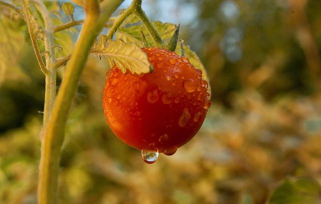 Tomato, Vegetable, Garden Dew, Drops Of Water