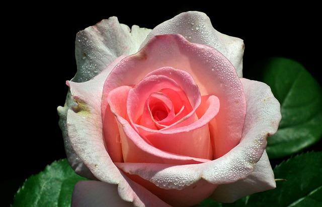 Rose, Flower, Petal, Love, Floral, Drops, Nature