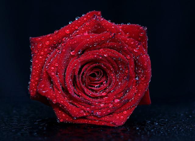 Rose, Red, Drops, Water, Flower, Plant, Romantic