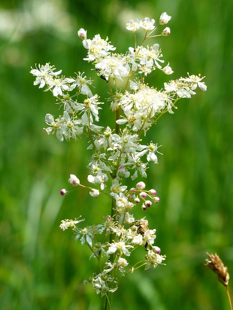 Dropwort, Flower, Plant, Blossom, Bloom, White