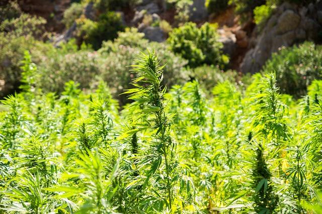 Cannabis, Hemp, Intoxicant, Drugs, Smoking, Medicine