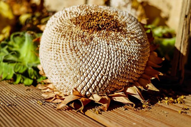 Sunflower, Dry, Seeds, Structure, Autumn