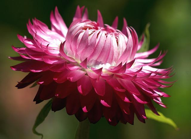 Helichrysum, Italicum, Dry, Pink, Plant, Bloom, Flower