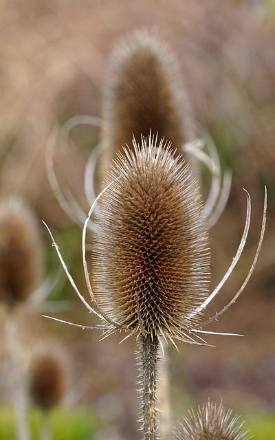 Thistles, Withers, Withered, Faded, Thistle Flower, Dry