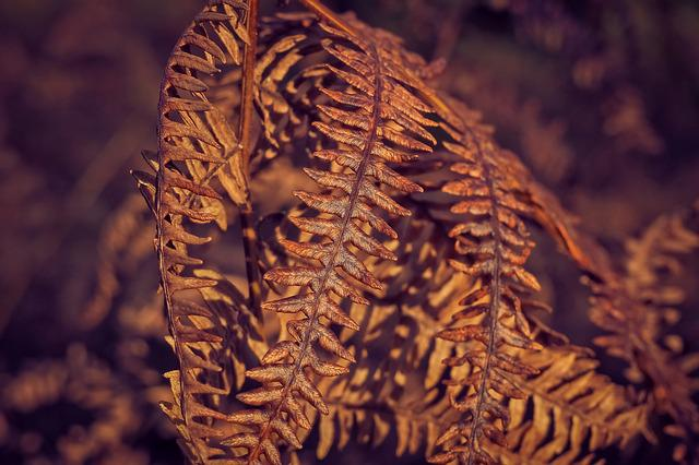Fern, Plant, Dry, Old, Autumn, Fall Color, Nature
