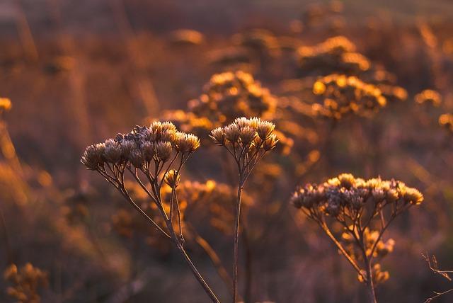 Autumn, Dry Flower, Meadow, Golden Hour, Lighting