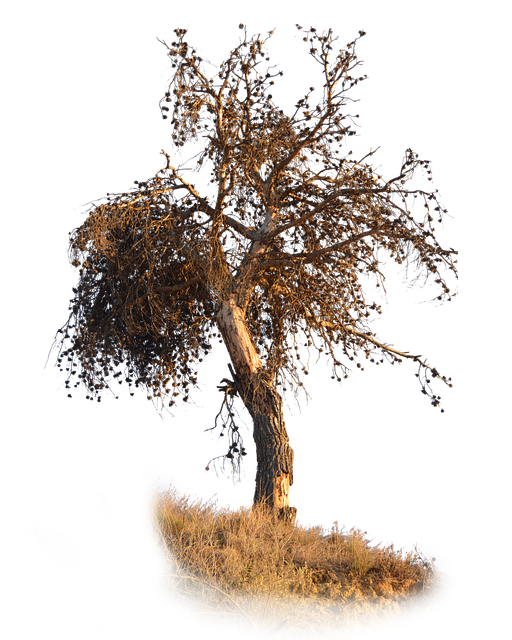 Png, Pine, Dry, Pine Dry, Brown, Dry Branches
