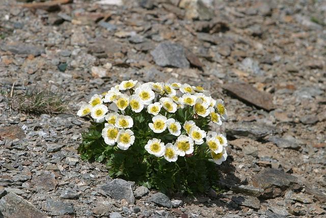 Dryas Octopetala, Flower, Blossom, Bloom, White, Dryas