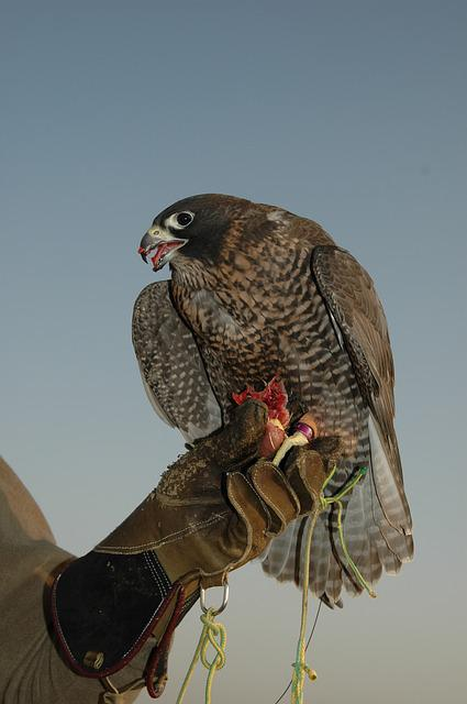 Falcon, Dubai, Bird