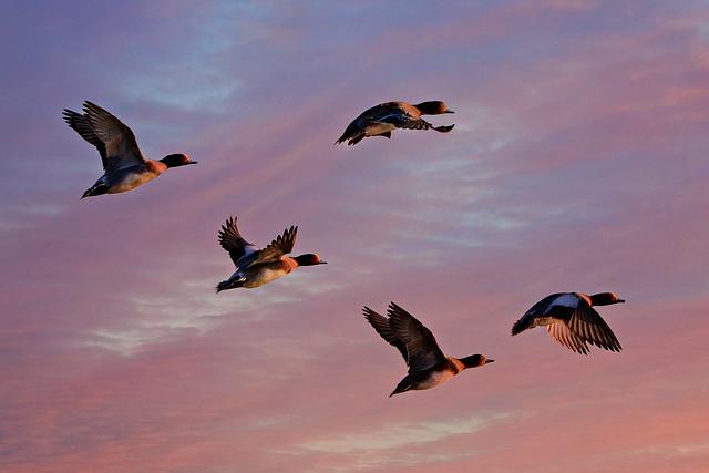 Eurasian Wigeon, Duck, Water Bird, Animal, Flight, Wing