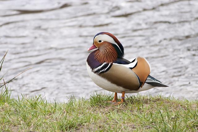Duck, Water Bird, Mandarin Ducks, Waterfowl, Animal