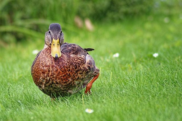 Duck, Mallard, Meadow, Water Bird, Animals, Nature