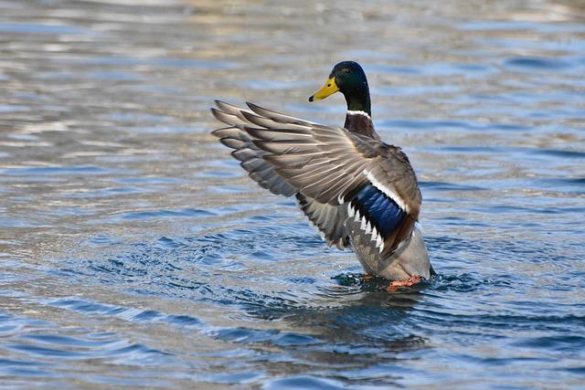 Duck, Nature, Water Bird, River, Water, Animals
