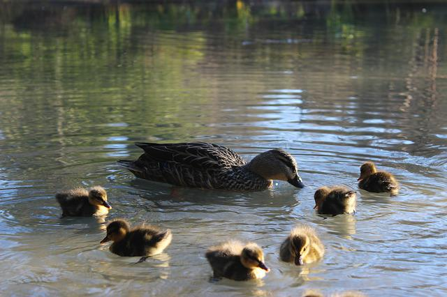 Water, Lake, Duck, Duck Babies, Chicks, Animals