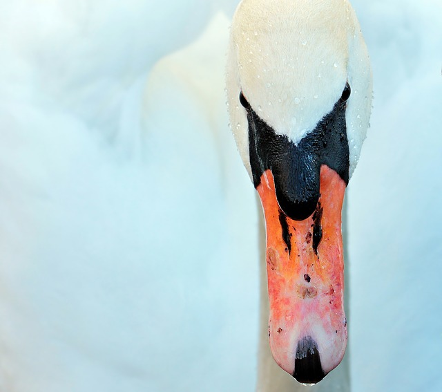 Swan, Bird, Duck Bird, Animal, White, Head, Water Bird