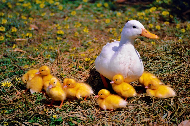 Duck, Chicken, Family, Wildlife Photography