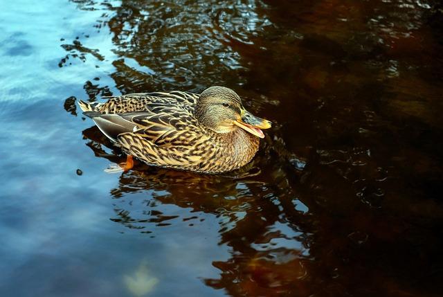 Duck, Bird, Water Bird, Animal, Floats, Croaking, Pond