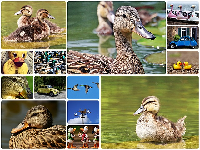 Duck, Collage, Ducks Collage, Collage Ducks