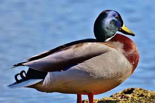 Mallard, Water Bird, Duck, Blue, Glazed Includes
