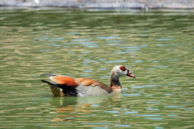 Goose, Duck, Fowl, Egyptian, Brown, Colours, Markings