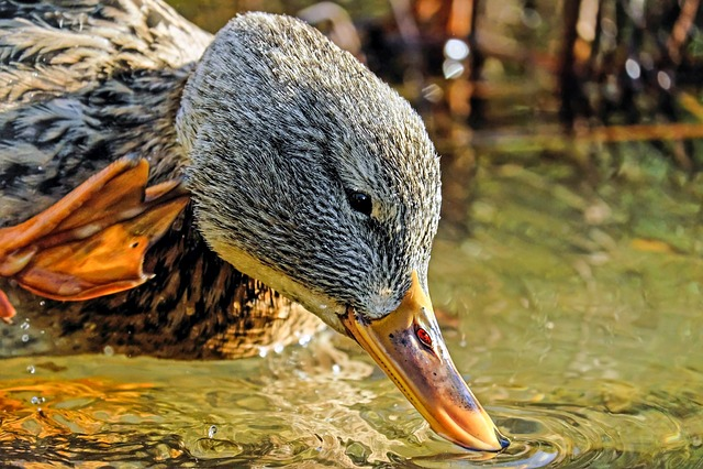 Duck Head, Head, Bill, Water Bird, Animal, Dressing