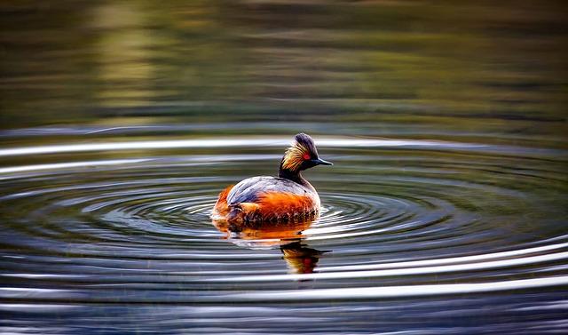 Eared Grebe, Duck, Wildlife, Bird, Pond, Lake, Water