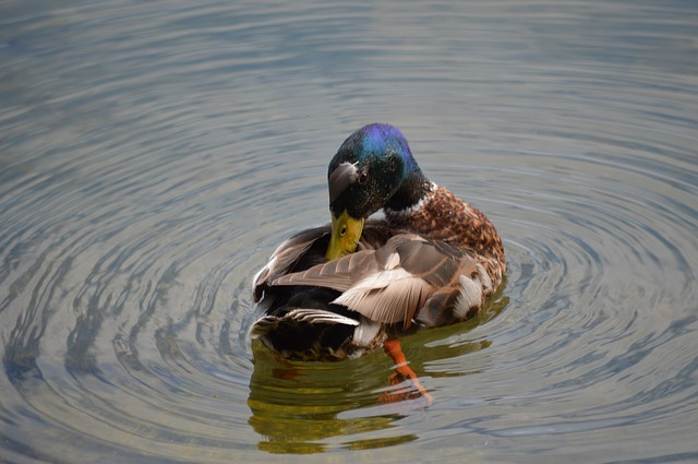 Duck, Waters, Lake