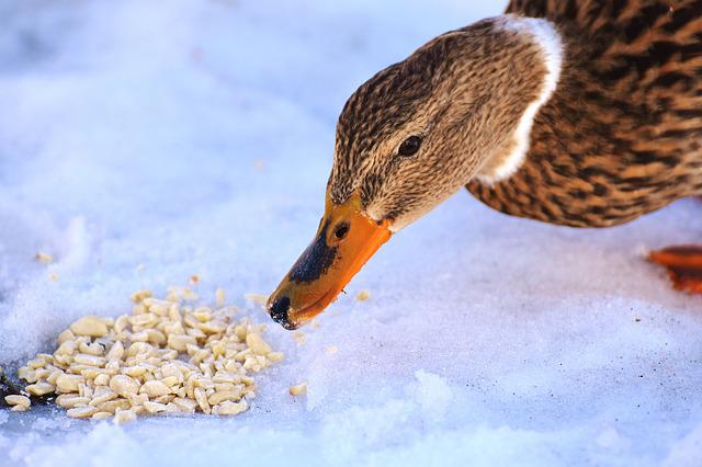 Duck, Mallard, Eat, Bread, Snow, Winter, Cold, Colorful