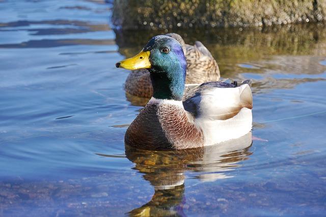 Mallard, Drake, Duck