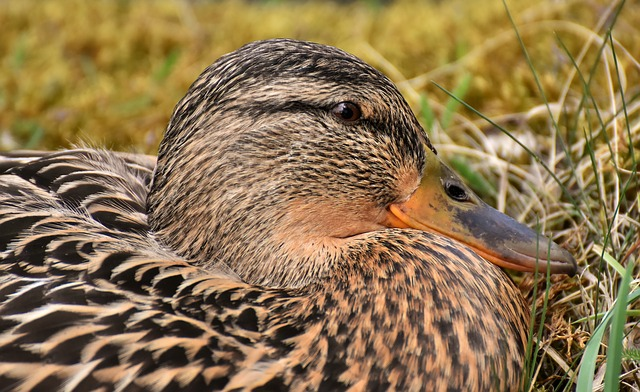 Mallard, Cute, Nature, Water, Duck, Bird, Plumage