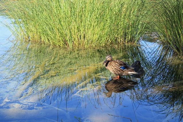 Nature, Duck, Water, Lake, Bird