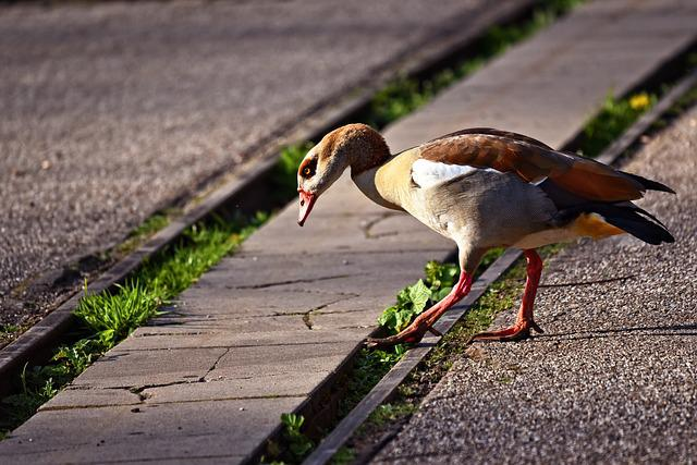 Nile Goose, Duck, Bird, Water Bird, Animal, Plumage