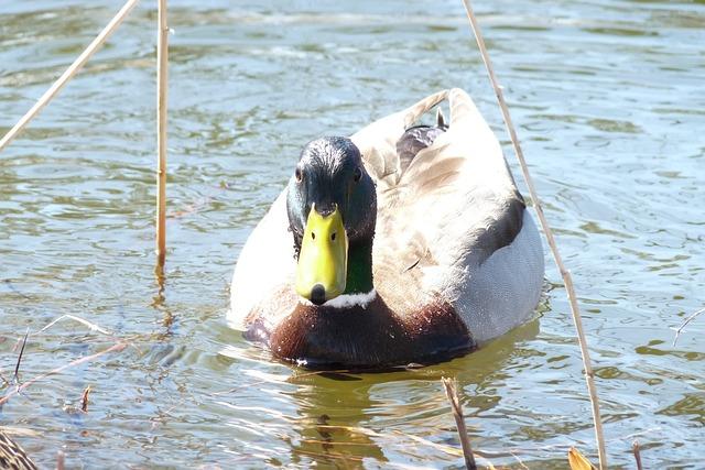 Canard, Duck, Quebec