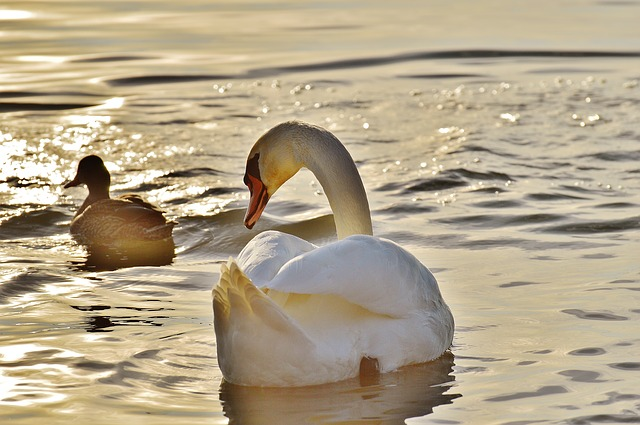 Swan, Duck, Water, Lake Constance, Animal World, Lake