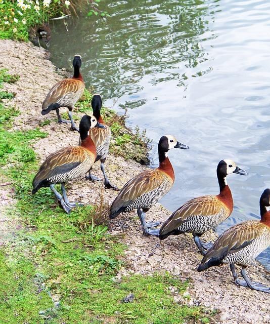 White-faced Whistling Duck, Dendrocygna Viduata, Duck