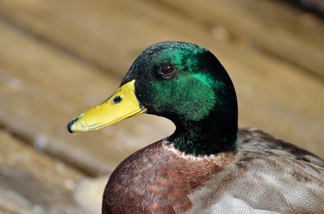 Mallard Duck, Duck, Wildlife, Bird, Water, Green