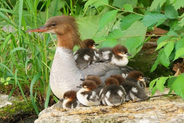 Common Merganser, Bird, Animal, Duck, Nature, Wildlife