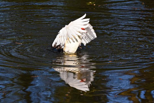 Muscovy Duck, Duck, Wing, Flapping, Wing Flapping
