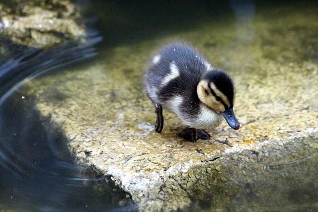 Duckling, Mallard, Anas Platyrhynchos, Duck, Young