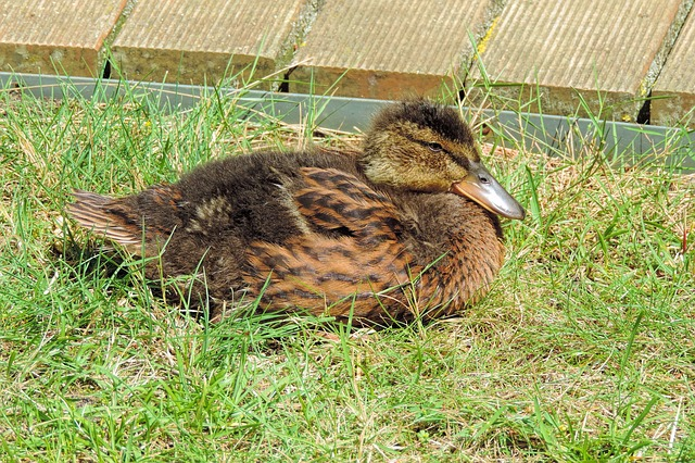 Ducklings, Feather, Bill, Cute, Duck, Small, Young