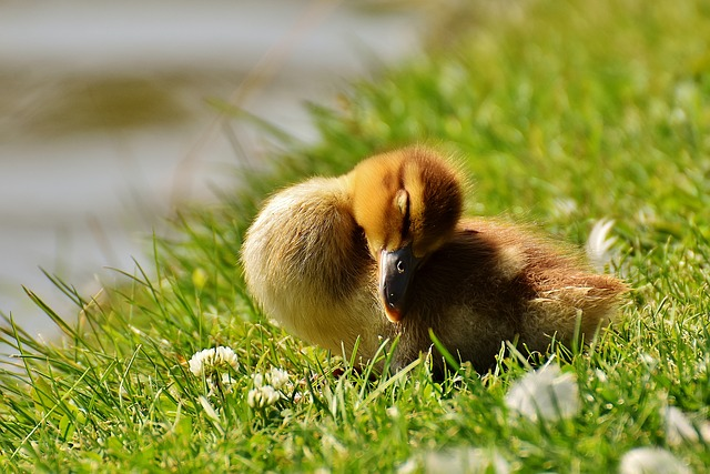 Chicks, Ducklings, Sleep, Mallard, Cute, Bird