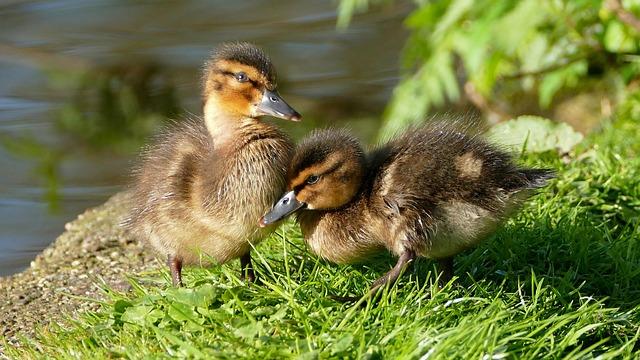 Ducklings, Chicks, Dune Chicks, Mallards, Dabbling Duck