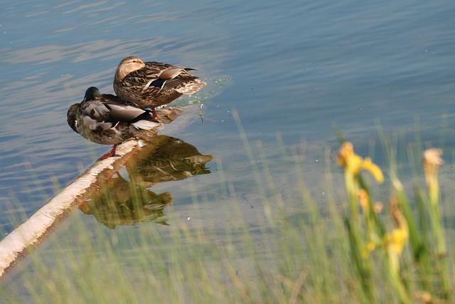 Ducks, Couple, Sleep, Rest, Water, Mirroring, Lake