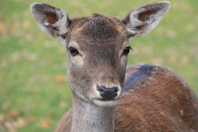 Roe Deer, Dülmen Germany, Wild, Mammal, Animal