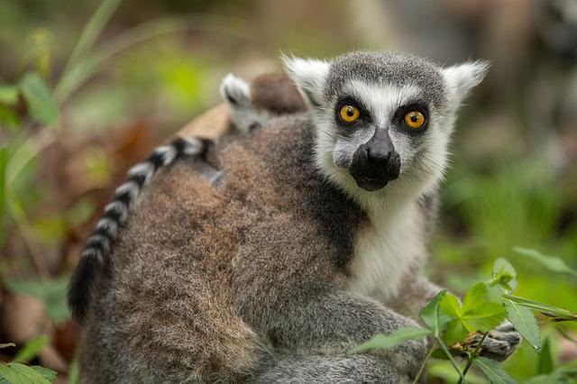 Ring-tailed Lemur, Lemur Catta, Duke Lemur Center